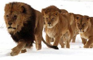 Leeuwentroep